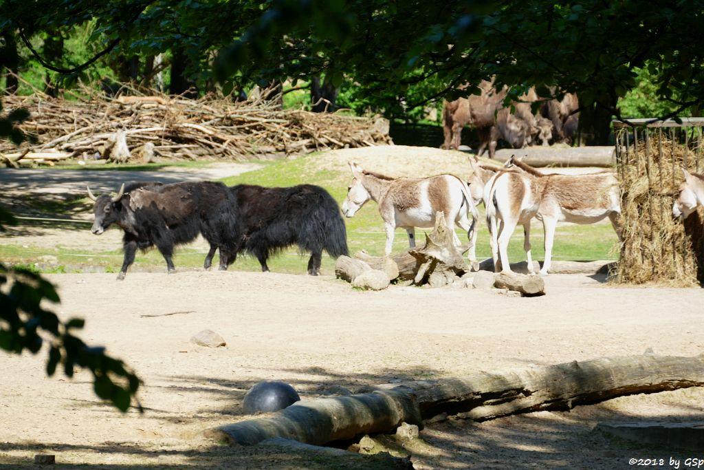 Hausyak, Kulan (Turkmenischer Halbesel), Trampeltier (Zweihöckriges Kamel, Hauskamel)
