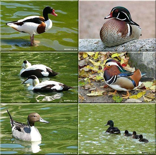 Enten und Gänse - 57 Fotos