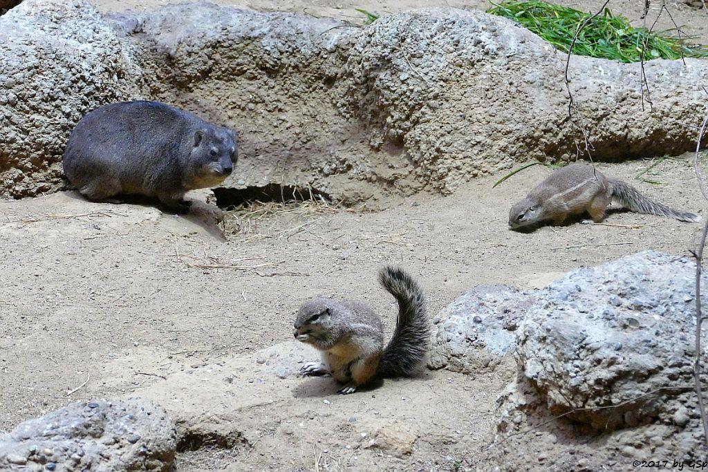 Klippschliefer (Kap-Klippschliefer), Kap-Borstenhörnchen