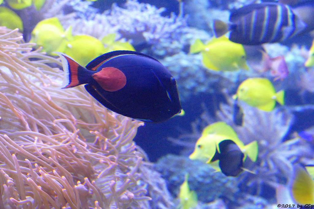 Rotschwanz-Doktorfisch (Blutfleck-Doktorfisch, Hawaii-Doktorfisch)