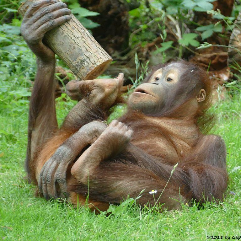Borneo-Orang-Utan
