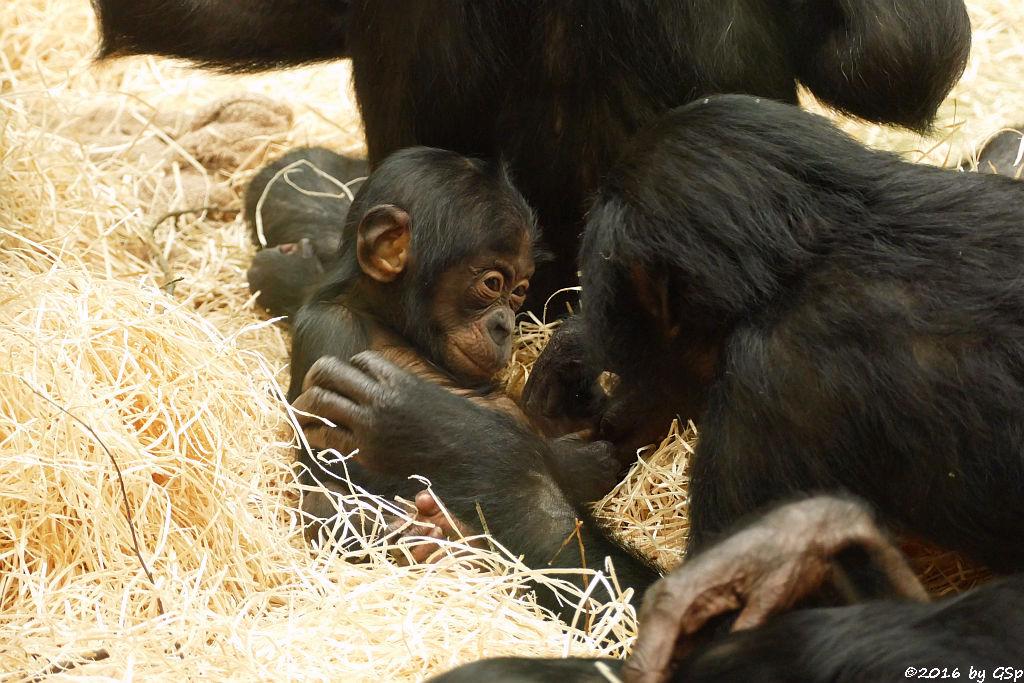 Bonobo BINA, geb. am 3.4.15 (1 Jahr alt)