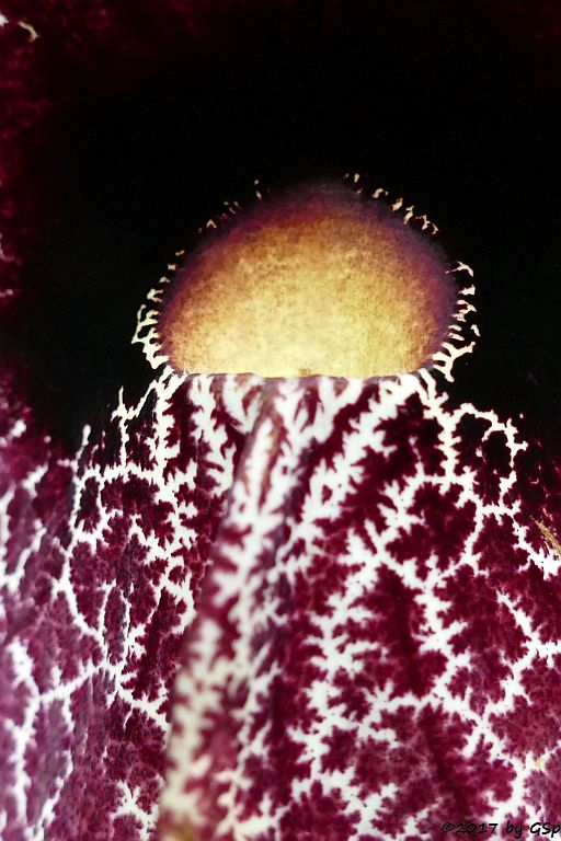 Riesen-Pelikanblume, Pfeifenblume (Aristolochia Gigantes)