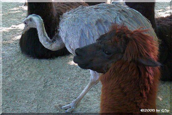 Nandu und Alpaka