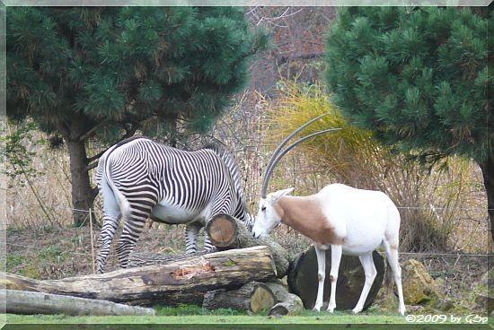 Säbelantilope und Grévyzebra