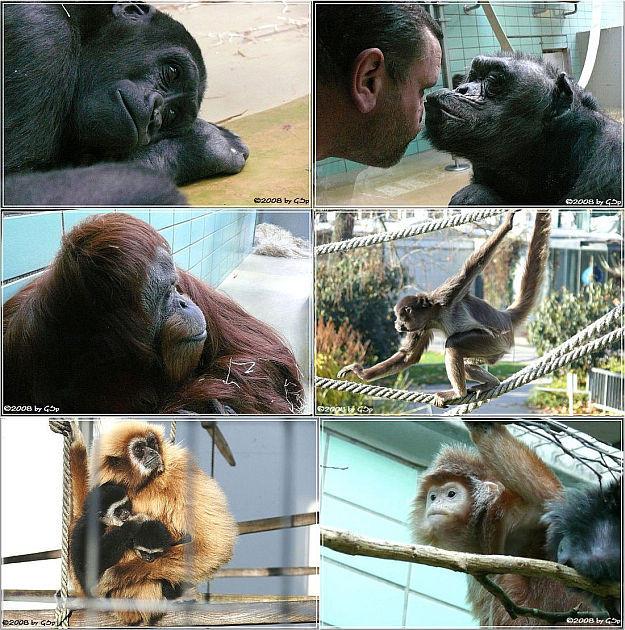 Menschenaffen, Klammeraffen, Niedere Affen - 38 Fotos