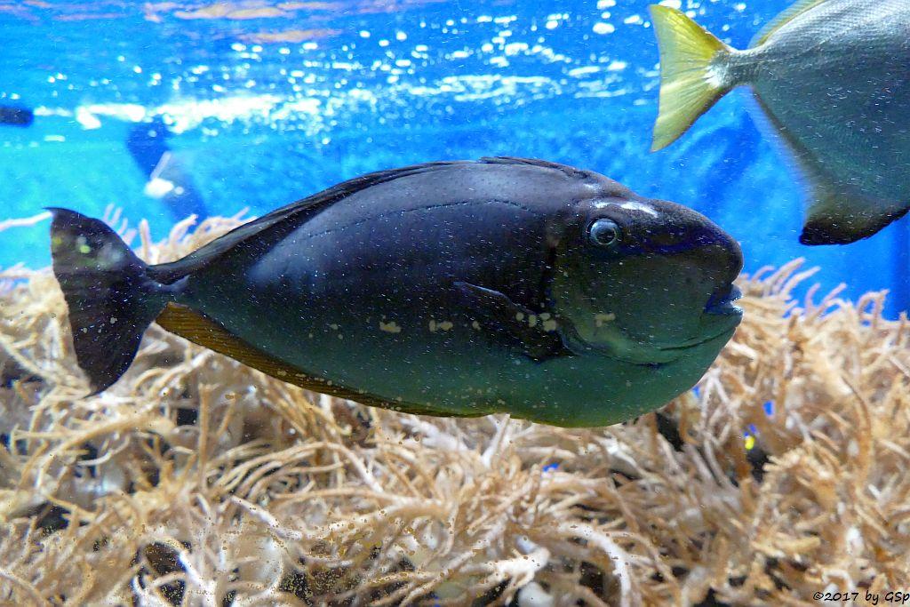 Masken-Nasendoktorfisch (Vlamings Doktorfisch)
