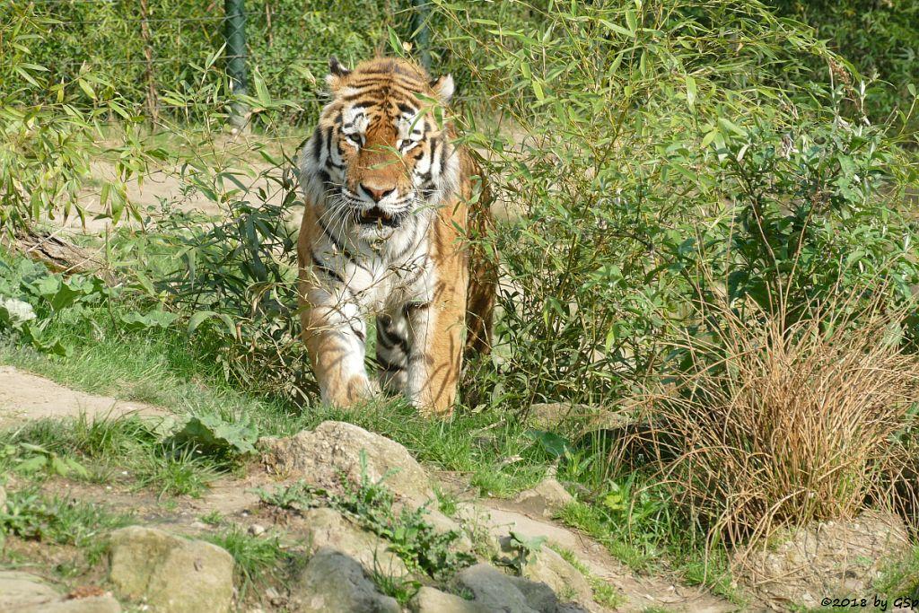 Amurtiger (Sibirischer Tiger, Mandschutiger)