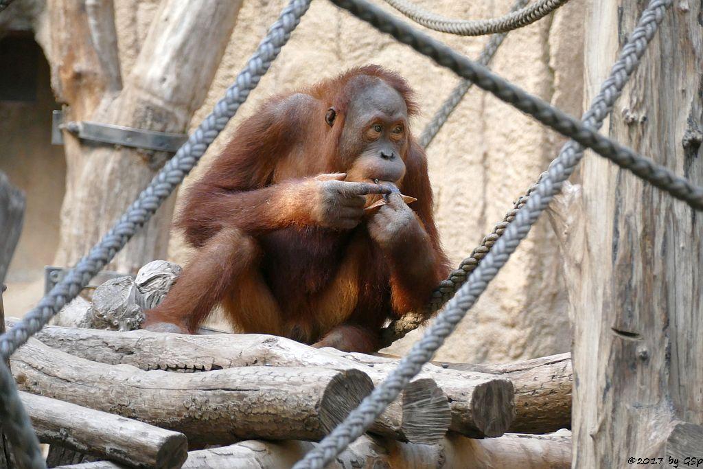 Sumatra-Orang-UtanSumatra-Orang-Utan