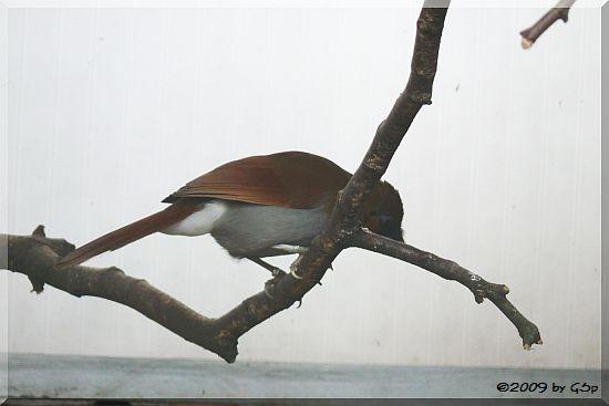 Grauflanken-Häherling