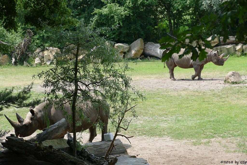 Spitzmaulnashorn (Spitzlippennashorn, Doppelnashorn) SERAFINE und NANDI