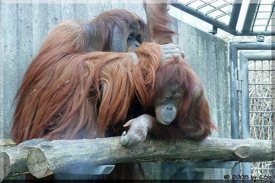 Sumatra-Orang-Utan KAJAN und MIRI