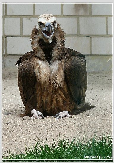 Mönchsgeier (Kuttengeier)