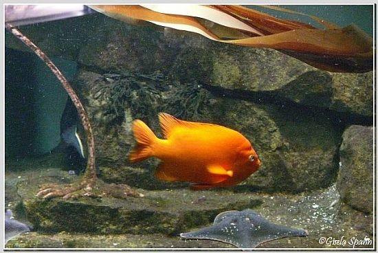 Garibaldi-Fisch