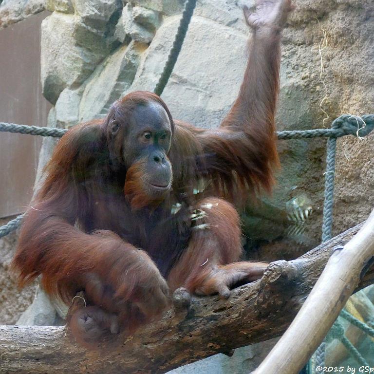 Sumatra-Orang-Utan LUCU