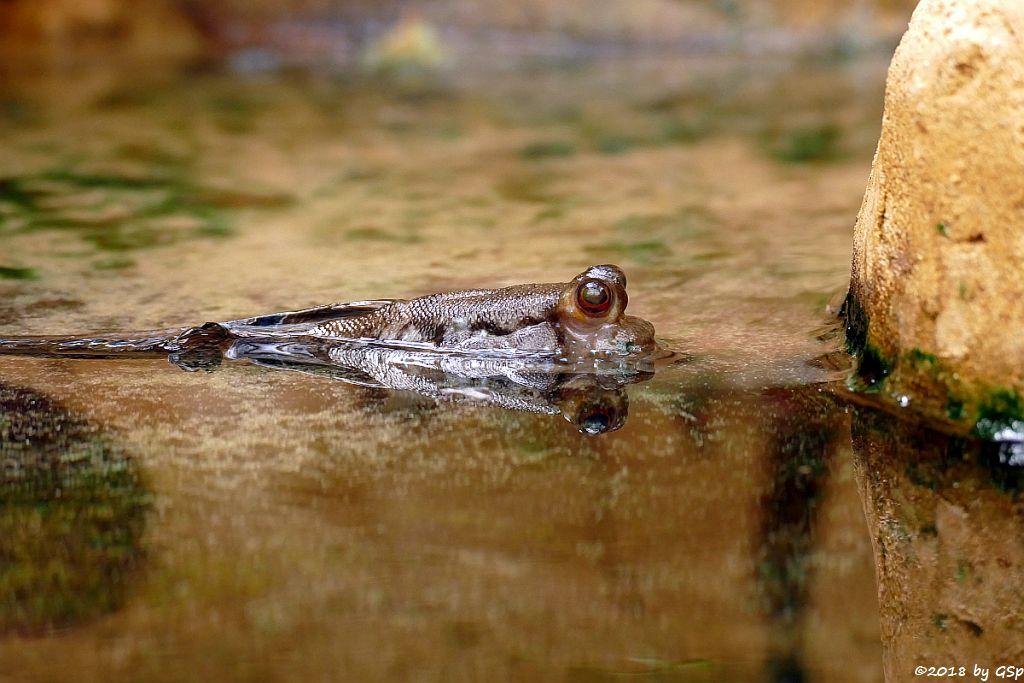 Afrikanischer Schlammspringer (Atlantischer Schlammspringer)