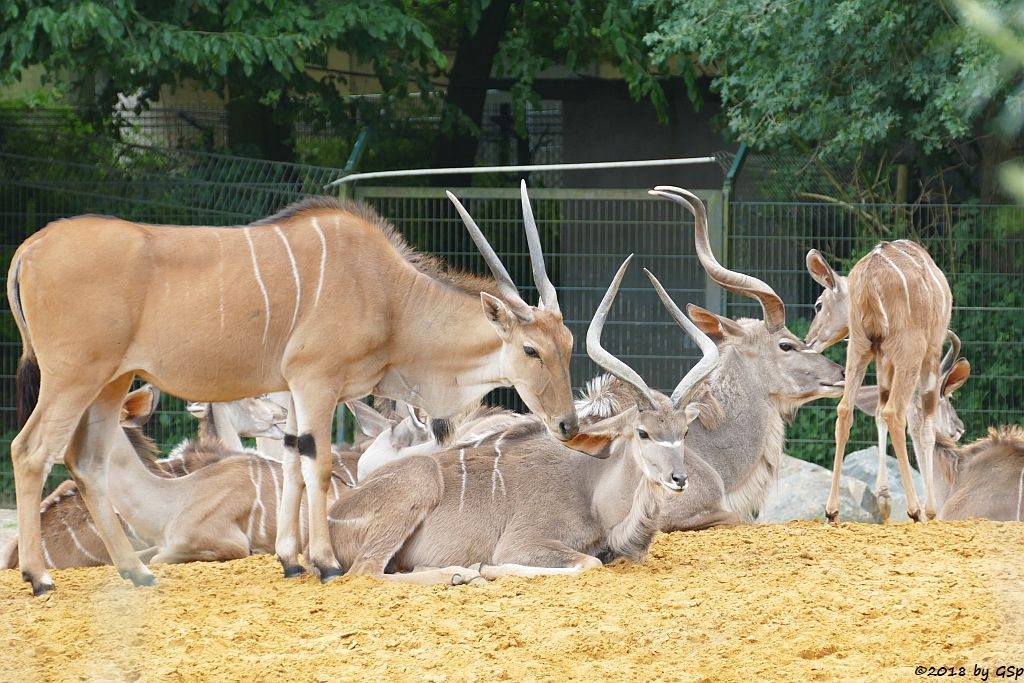 Elenantilope, Großer Kudu