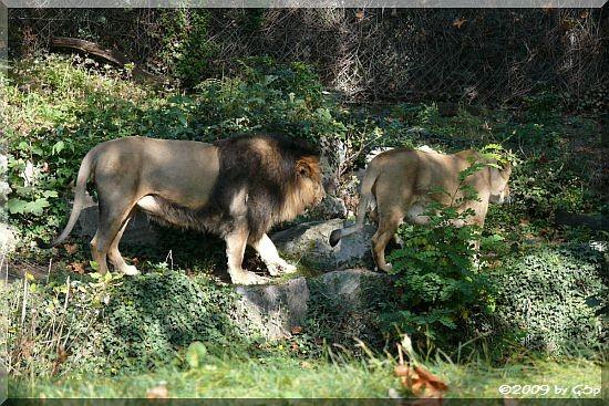 Indischer Löwe KASCHI und KIRI