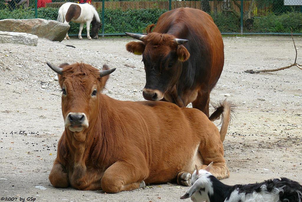 Murnau-Werdenfelser Rind