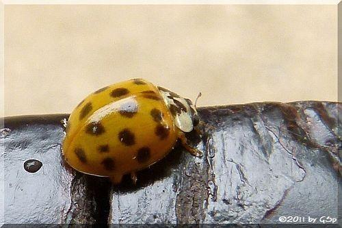 Asiatischer Marienkäfer