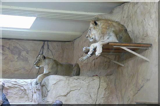 Die Afrikanischen Löwen LAYLA und JAGO