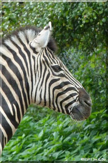 Chapman-ZebraChapman-Zebra