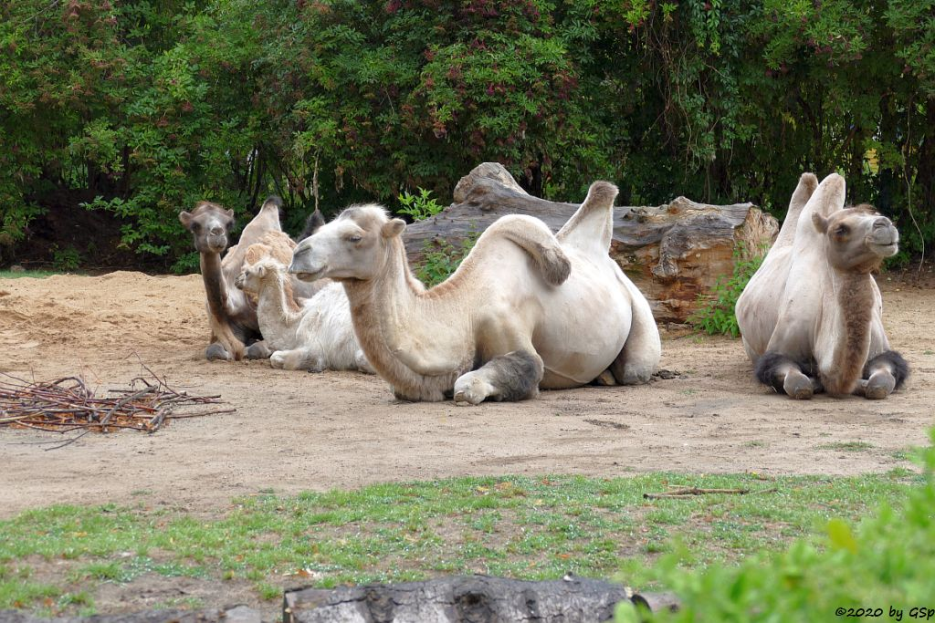 Trampeltier (Zweihöckriges Kamel, Hauskamel), Jungtier geb. 14.3.20