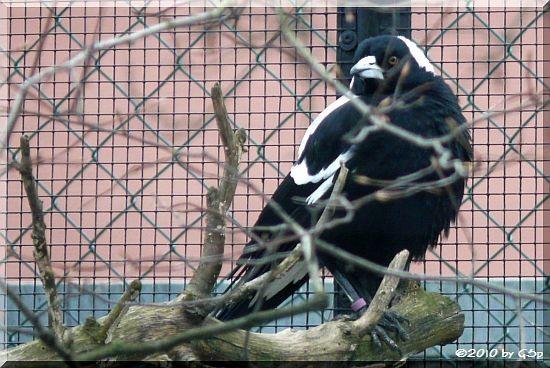 Weißrückenflötenvogel