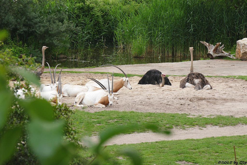 Säbelantilope, Blauhalsstrauß