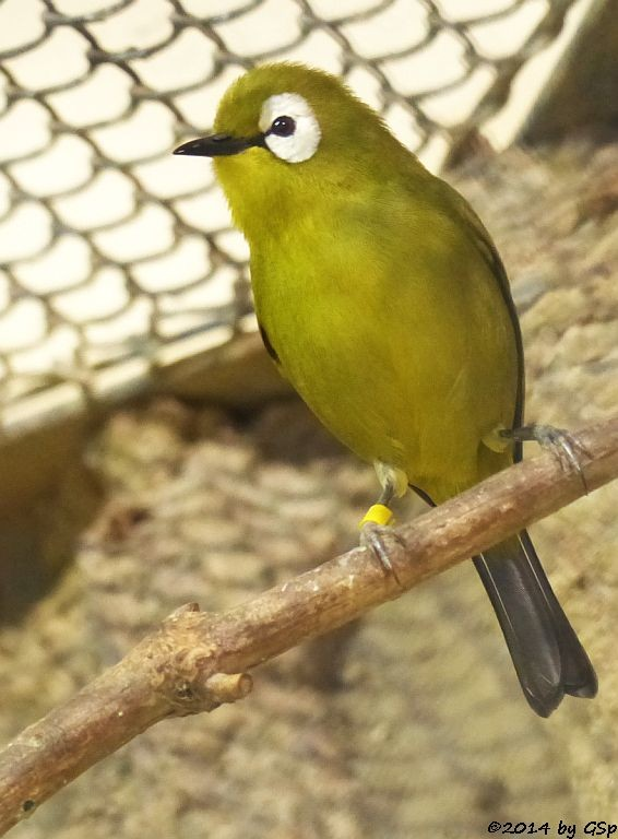 Bergbrillenvogel