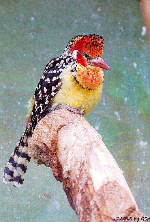 Flammenkopf-Bartvogel