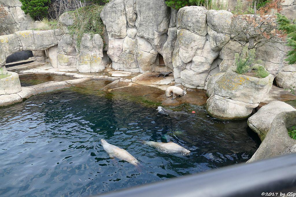 Kallifornischer Seelöwe