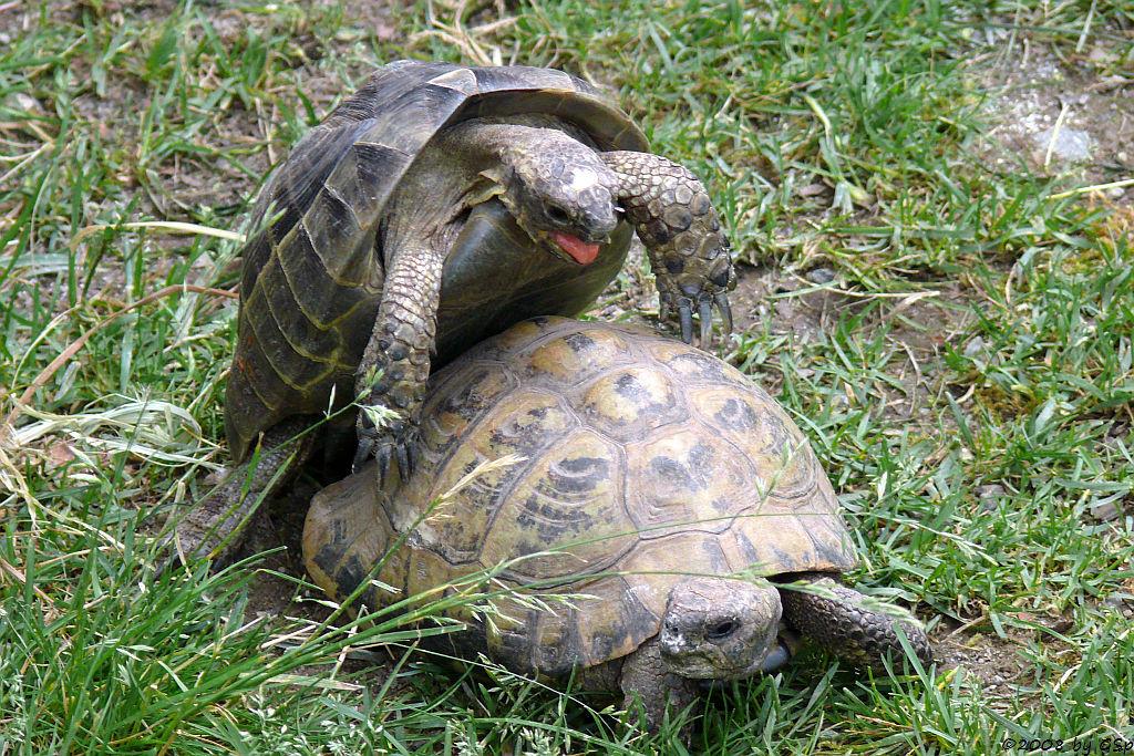 Maurische Landschildkröte, Griech. Landschildkröte