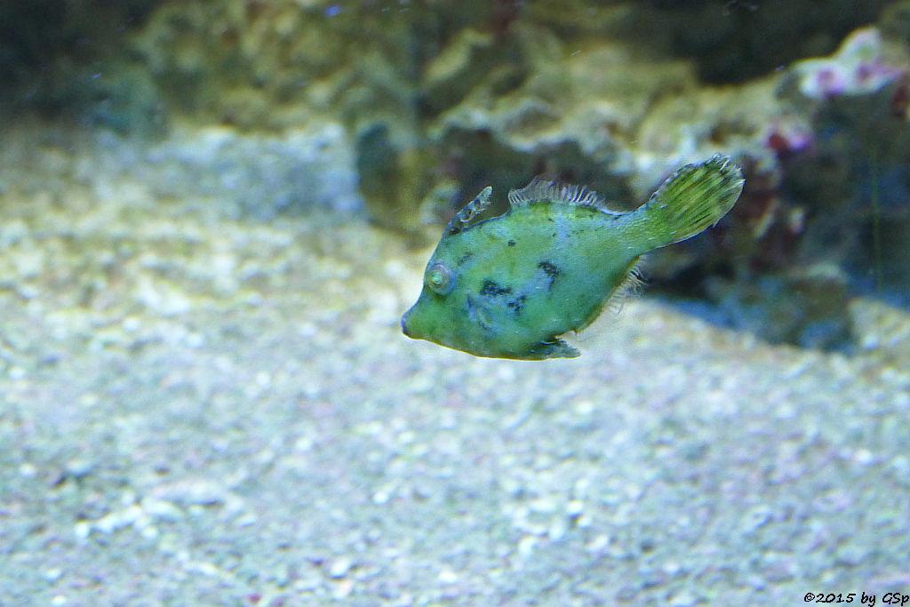 Gefleckter Bürstenzahn-Feilenfisch