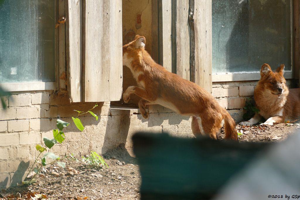 Kiangsi-Rothund (Kiangsi-Alpenwolf)