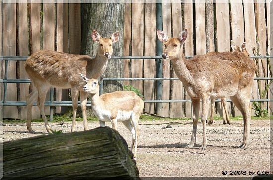 Barasingha und Hirschziegenantilope