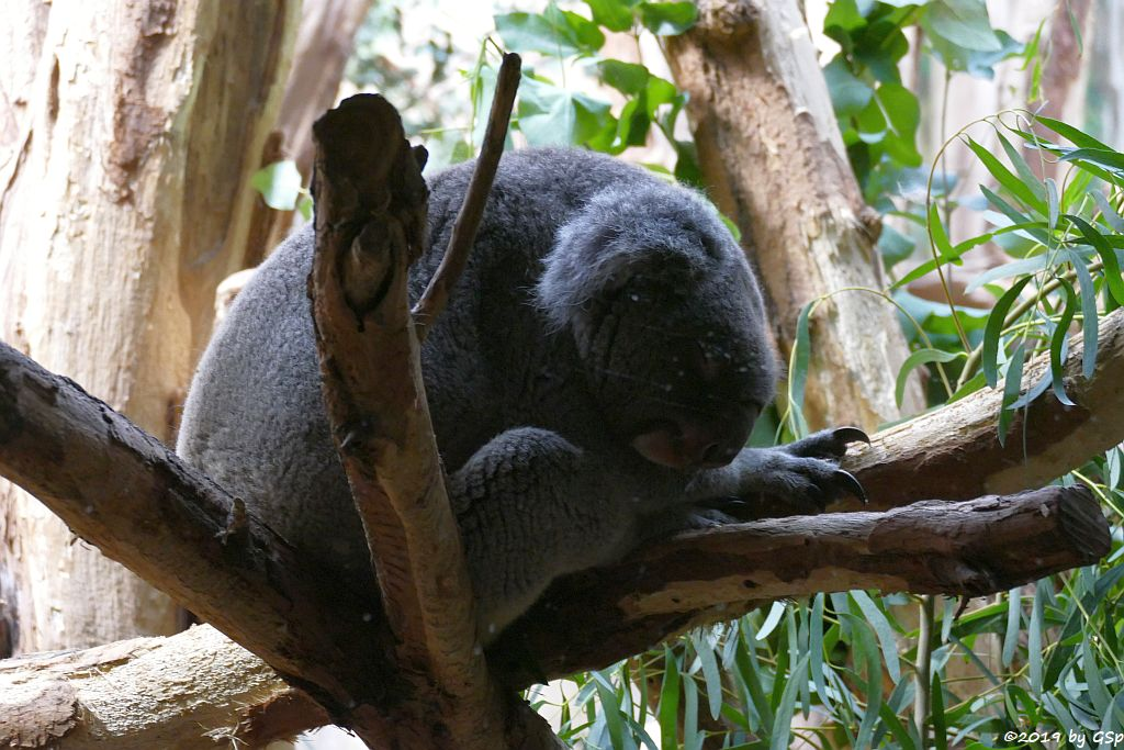 Nördlicher Koala (Queensland-Koala, Neusüdwales-Koala)