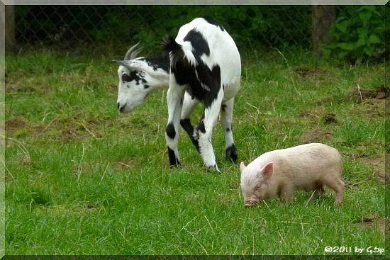 Zwergziege und Hängebauchschwein