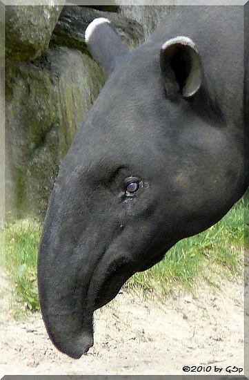 Schabrackentapir