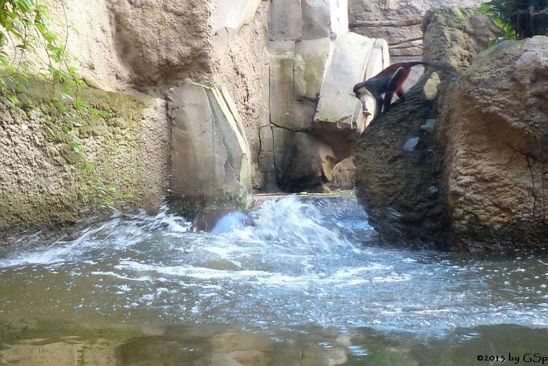 Zwergflusspferd und Diana-Meerkatze