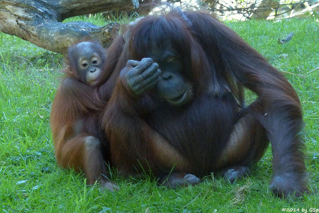 Borneo-Orang-Utan CAJUNGA mit CINTA