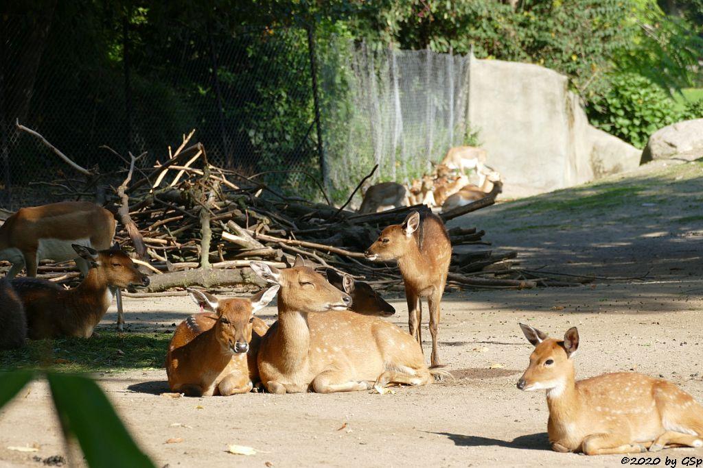 Vietnam-Sikahirsch, Hirschziegenantilope (Sasin)