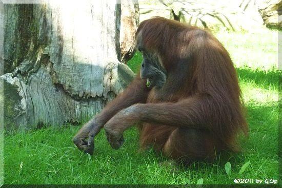 Sumatra-Orang-Utan DAISY (Mutter von DODI)