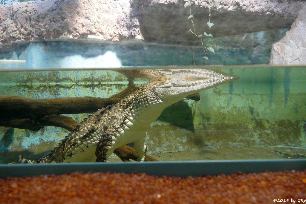 Australisches Süßwasserkrokodil (Johnstonkrokodil)
