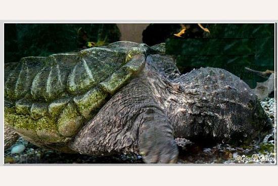 Geierschildkröte