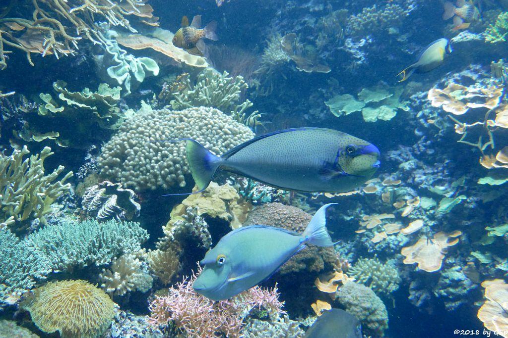 Blauklingen-Nasendoktor (Langschn.-Einhornfisch, Kurznasen-Nashornfisch), Masken-Nasendoktorfisch (Vlamings Dok