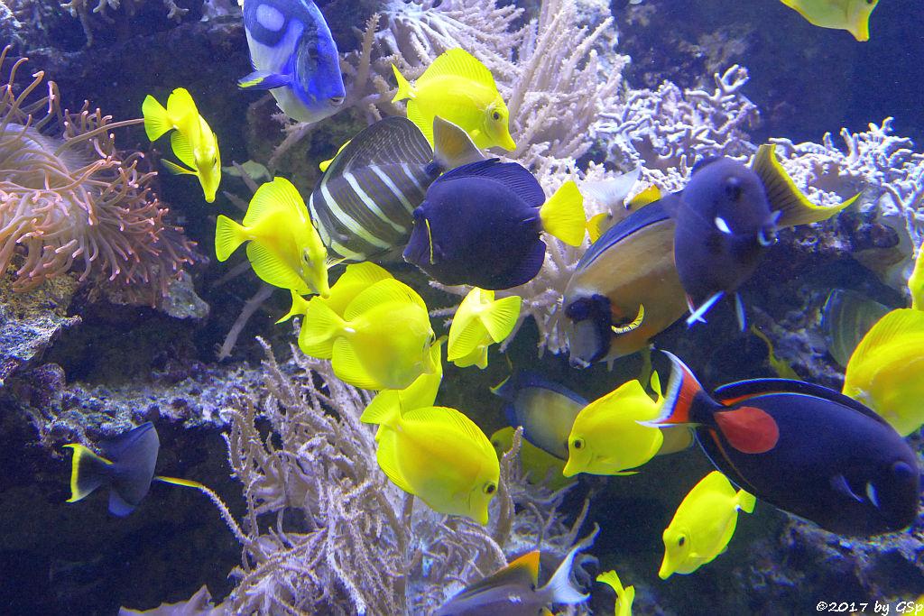 Gelber Segelflossen-Doktorfisch, Paletten-Doktorfisch, Pazifischer Segelfl.-Doktorfisch, Blauer Segelfl.-Doktorfisch, Schokoladen