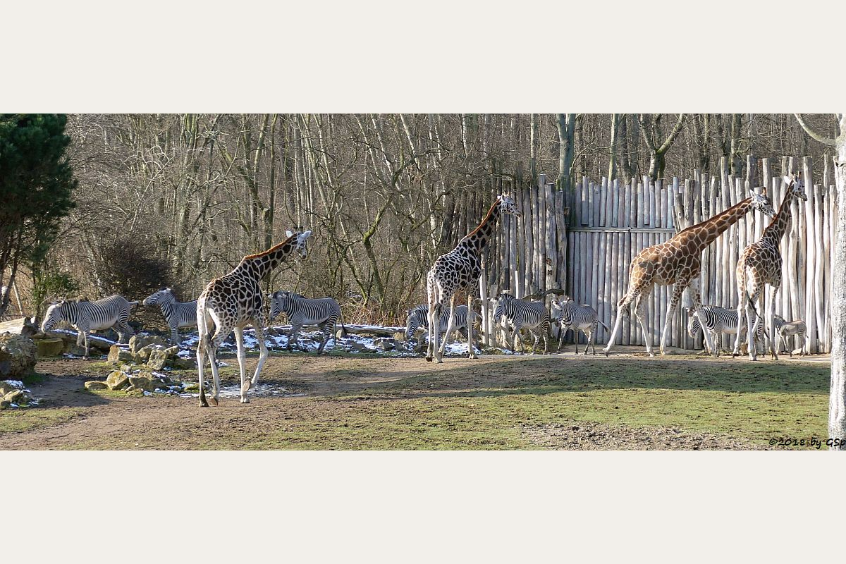 Rothschildgiraffe , Grévy-Zebra