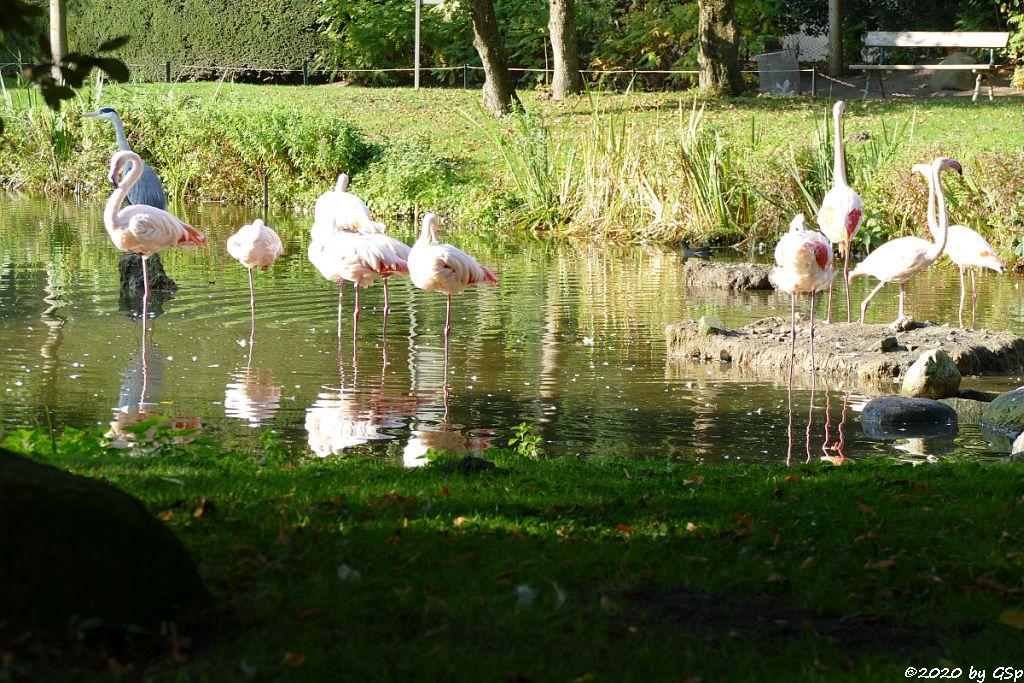 Rosaflamingo (Europäischer Flamingo, Rosenroter Flamingo)