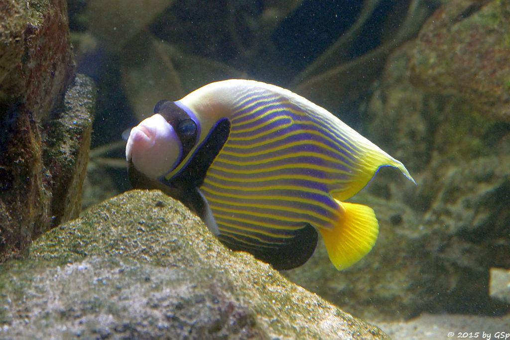 Nicobaren-Kaiserfisch (Imperator-Kaiserfisch)